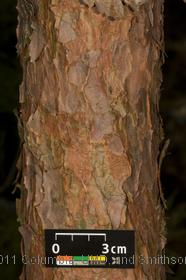 image of Japanese Red Pine