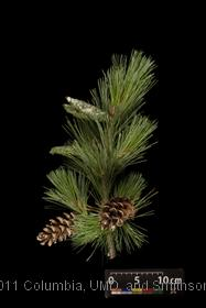 image of Macedonian Pine