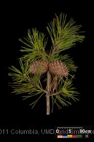 image of Table-Mountain Pine