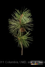 image of Pitch Pine