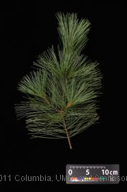 image of Eastern White Pine