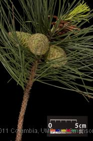 image of Loblolly Pine
