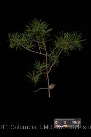 image of Jersey Pine