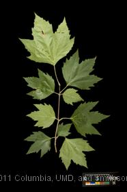 image of London Plane Tree