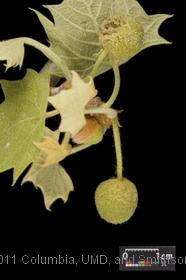 image of American Sycamore