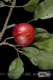 image of Cherry Plum