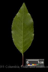 image of Pin Cherry