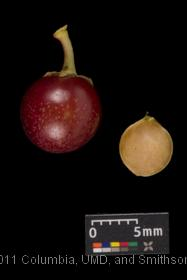 image of Black Cherry
