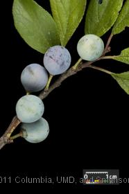 image of Blackthorn