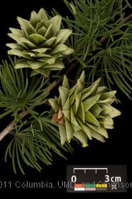 image of Golden Larch