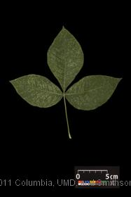 image of Common Hoptree