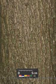 image of Callery Pear