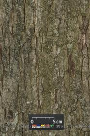 image of White Oak