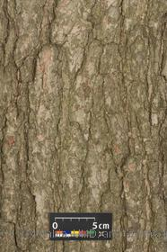 image of Swamp White Oak