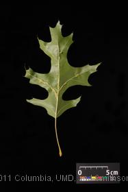 image of Scarlet Oak