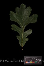 image of Bur Oak