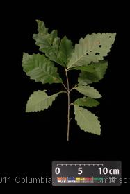 image of Swamp Chestnut Oak