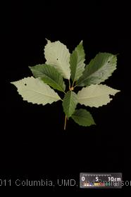 image of Chestnut Oak
