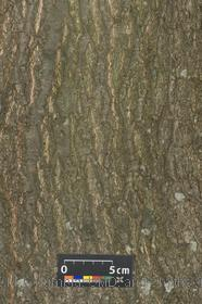 image of Red Oak