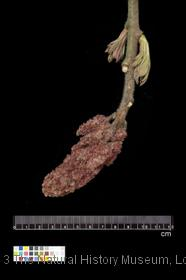 image of Staghorn Sumac
