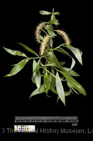 image of White Willow