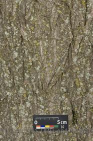 image of Weeping Willow