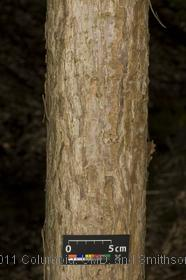 image of Corkscrew Willow