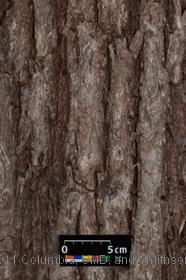 image of Black Willow