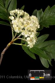 image of Oakleaf Mountain Ash