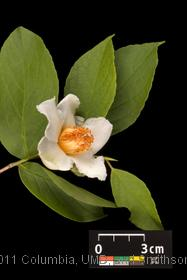 image of Japanese Stewartia
