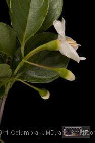 image of Japanese Snowbell