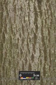 image of Silver Linden