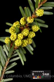 image of Canadian Hemlock