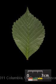 image of Scotch Elm