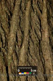 image of Dutch Elm