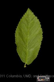 image of English Elm