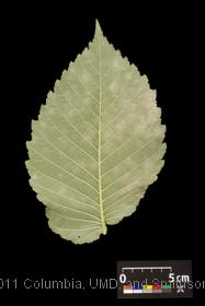 image of Slippery Elm